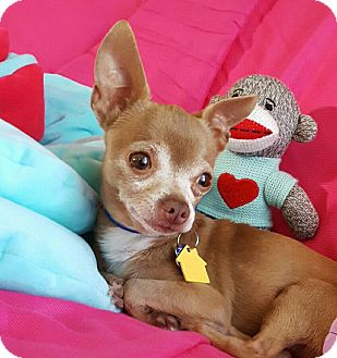 Chihuahua Mix Dog for adoption in AUSTIN, Texas - Traveler