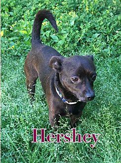 Chihuahua Mix Dog for adoption in Va Beach, Virginia - Hershey