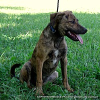 Labrador Retriever/Whippet Mix Puppy for adoption in parissipany, New Jersey - Rosie 25lbs