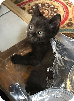 Domestic Shorthair Kitten for adoption in Fort Worth, Texas - Lilac