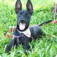 Adopt A Pet :: Nira - San Mateo, CA