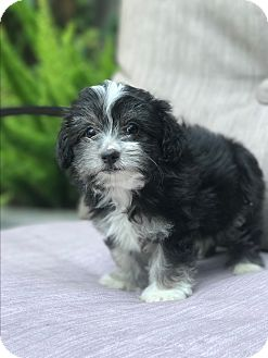 Yorkie, Yorkshire Terrier/Poodle (Toy or Tea Cup) Mix Puppy for adoption in west hollywood, California - Elsa
