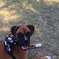 Adopt A Pet :: Maximus Prime - Austin, TX