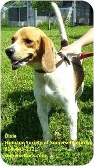 Beagle Mix Dog for adoption in Somerset, Pennsylvania - Dixie