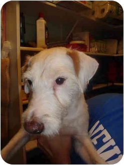 Jack Russell Terrier/Terrier (Unknown Type, Medium) Mix Dog for adoption in San Antonio, Texas - Found in SA