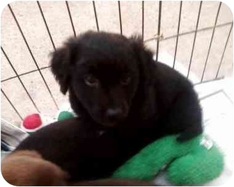 Dachshund/Labrador Retriever Mix Puppy for adoption in Crosby, Texas - P- Petco