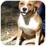 Photo 3 - Collie/Corgi Mix Dog for adoption in Tahlequah, Oklahoma - Em