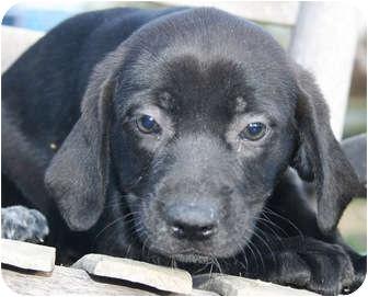 Labrador Retriever/Hound (Unknown Type) Mix Puppy for adoption in Allentown, Pennsylvania - Ash