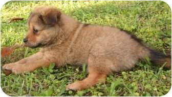 Pomeranian/Papillon Mix Puppy for adoption in Mary Esther, Florida - Chunk