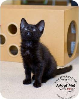 Domestic Mediumhair Kitten for adoption in Hickory Creek, Texas - Raven