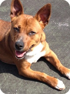 Dachshund/Corgi Mix Dog for adoption in Beacon, New York - Marco