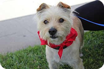 Norfolk Terrier/Norwich Terrier Mix Dog for adoption in Los Angeles, California - Seymour