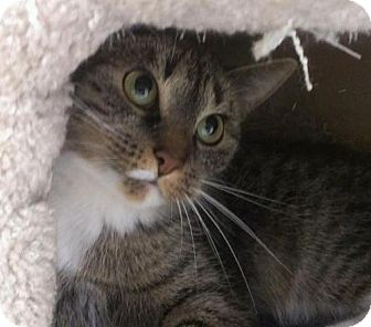 Domestic Shorthair Cat for adoption in East Meadow, New York - Marie