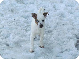 Border Collie/Cattle Dog Mix Puppy for adoption in elizabethtown, New York - Blue