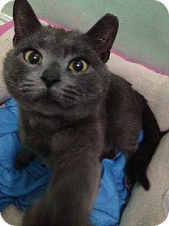 Russian Blue Cat for adoption in Ogden, Utah - Ashes