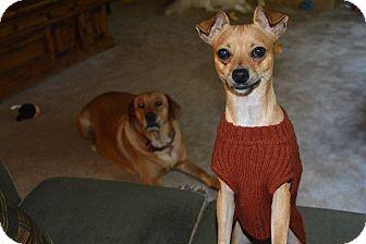 Italian Greyhound/Chihuahua Mix Dog for adoption in Buford, Georgia - Teddy-$150.00 Video!