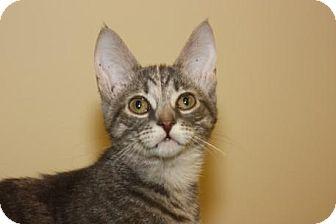 Domestic Shorthair Cat for adoption in Mt. Pleasant, Michigan - Poppy