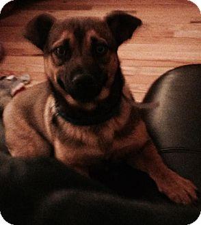 Welsh Corgi Mix Dog for adoption in Woodlyn, Pennsylvania - Peanut