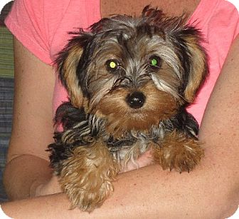 Yorkie, Yorkshire Terrier Puppy for adoption in Westport, Connecticut - Ingrid