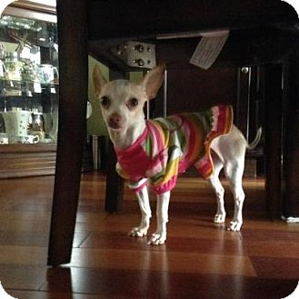 Chihuahua Dog for adoption in Mississauga, Ontario - Cricket