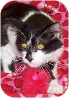 Domestic Shorthair Cat for adoption in Murphysboro, Illinois - Tomas
