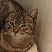 Domestic Shorthair Cat for adoption in Flushing, New York - Penny
