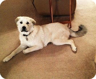 Great Pyrenees Mix Dog for adoption in Kyle, Texas - Maximus