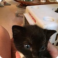 Adopt A Pet :: Jaspurr - Piscataway, NJ
