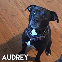 American Pit Bull Terrier Mix Dog for adoption in Detroit, Michigan - Audrey - Foster Needed