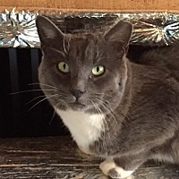 Domestic Mediumhair Cat for adoption in Carlisle, Pennsylvania - SmokeyCP