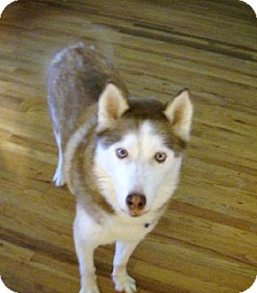 Siberian Husky Dog for adoption in Memphis, Tennessee - KEEKO