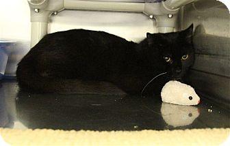 Domestic Shorthair Kitten for adoption in Elyria, Ohio - Duncan