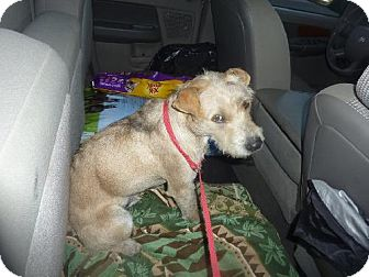 Terrier (Unknown Type, Medium) Mix Dog for adoption in Phoenix, Arizona - Kohl