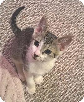 Domestic Shorthair Kitten for adoption in Colmar, Pennsylvania - Duke