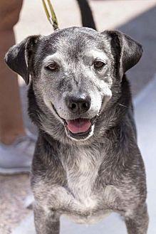 Labrador Retriever Mix Dog for adoption in San Diego, California - Buster