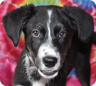 Labrador Retriever/Border Collie Mix Puppy for adoption in Southington, Connecticut - Dixie
