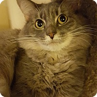 Domestic Longhair Cat for adoption in Los Angeles, California - Hanna