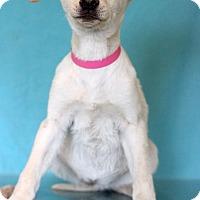 Adopt A Pet :: Candi - Waldorf, MD