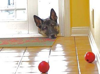 German Shepherd Dog Dog for adoption in San Diego, California - Avery