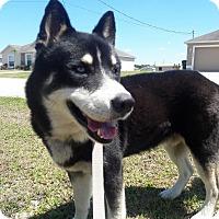 Adopt A Pet :: Joffrey - Clearwater, FL