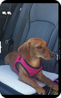Dachshund Mix Puppy for adoption in Baltimore, Maryland - Coco 2 (COURTESY POST)