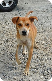 Labrador Retriever/Terrier (Unknown Type, Medium) Mix Dog for adoption in Sturbridge, Massachusetts - Bambi