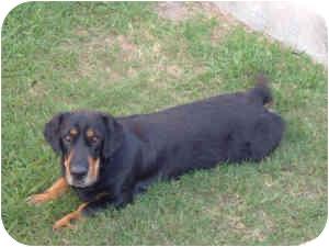 Basset Hound/Shar Pei Mix Dog for adoption in Folsom, Louisiana - Elli