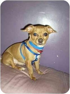 Chihuahua Dog for adoption in North Benton, Ohio - Cha Cha