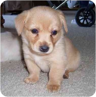 Golden Retriever Mix Puppy for adoption in Taylor Mill, Kentucky - Punkin