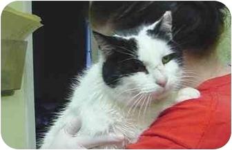 Domestic Shorthair Cat for adoption in Marshalltown, Iowa - Jack