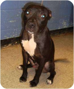 Pit Bull Terrier Mix Dog for adoption in Clarksburg, Maryland - Dallas
