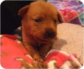Labrador Retriever Mix Puppy for adoption in Marietta, Georgia - Lily