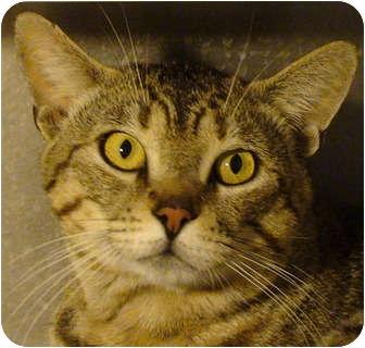 Domestic Shorthair Cat for adoption in El Cajon, California - Magnum