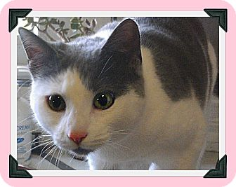 Domestic Shorthair Cat for adoption in South Plainfield, New Jersey - Sugar Magnolia